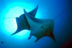 Manta Ray Diving Is Fun & Not Dangerous