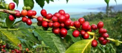 The main ingredient is the fruit of the coffee plant that surrounds, protects and nourishes the coffee bean (seed of the fruit).