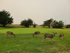 Some of the golfers at Pacific Grove Golf Links you let just naturally play through.